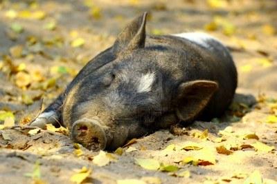 130108-lui-varken-slapen-in-de-middag-in-de-schaduw