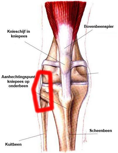 knie-beenderen-1