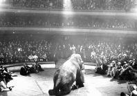 Een olifant in het circus